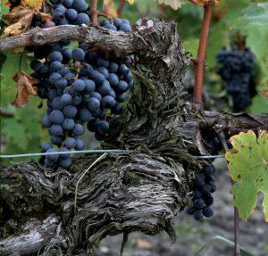 Cep de vigne du Château Peyrabon