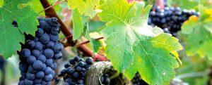 Feuille de vigne et grappe de raisins